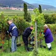 Working in the vinyard © Südliche Weinstrasse e.V.